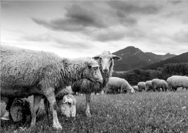 Balmuir virgin and merino wool, sheep