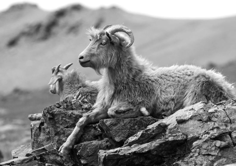 Balmuir cashmere angora goat