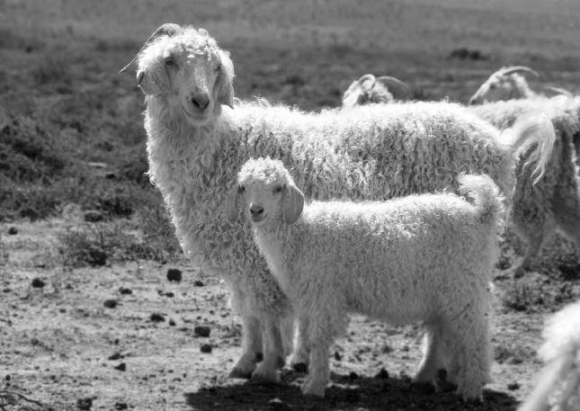 Kid mohair angora goats