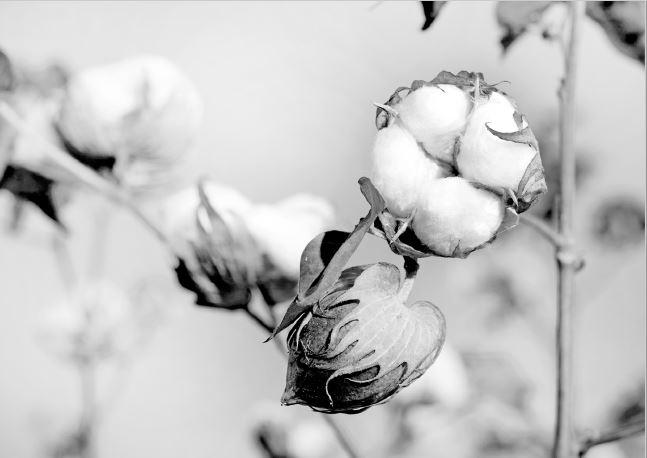 Supima cotton